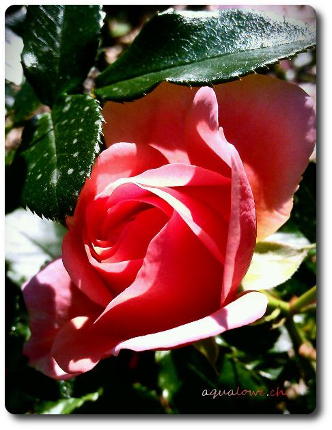 La vie en rose blog