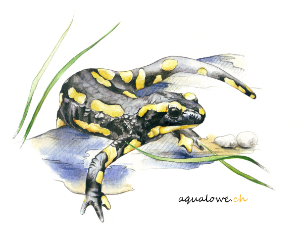 La petite salamandre72